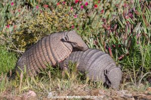 Hairy Armadillos mating in Patagonia.