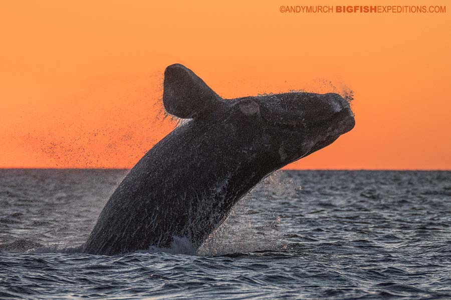 Breaching southern right whale in Patagonia.