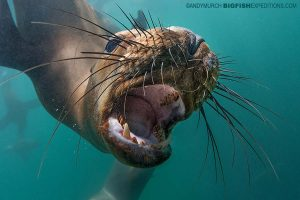 South American Sea Lion snorkeling.