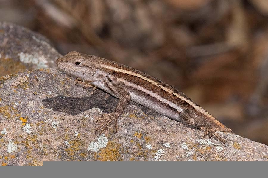 Striped plateau lizard. Herping Arizona.