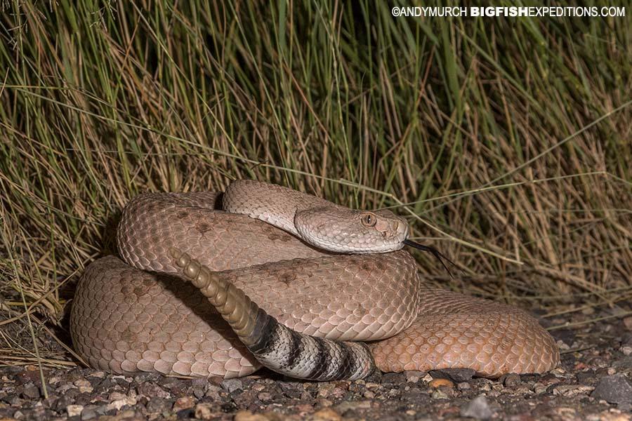 Western diamondback rattlesnake photography. Herping Arizona.
