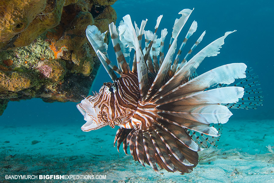 Spearfishing for invasive lionfish in Chinchorro.