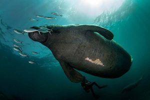 Scuba diving with a West Indian Manatee.