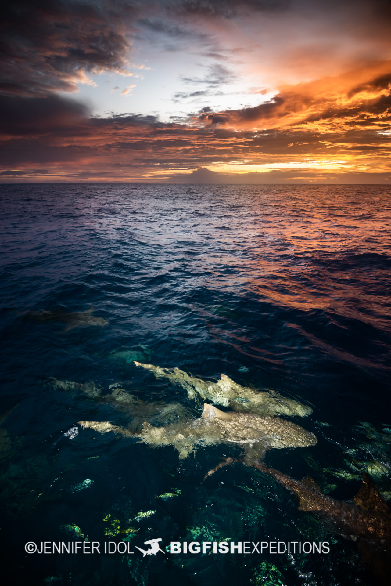 Lemon sharks at sunset