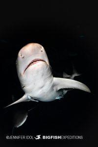 Lemon sharks at sunrise