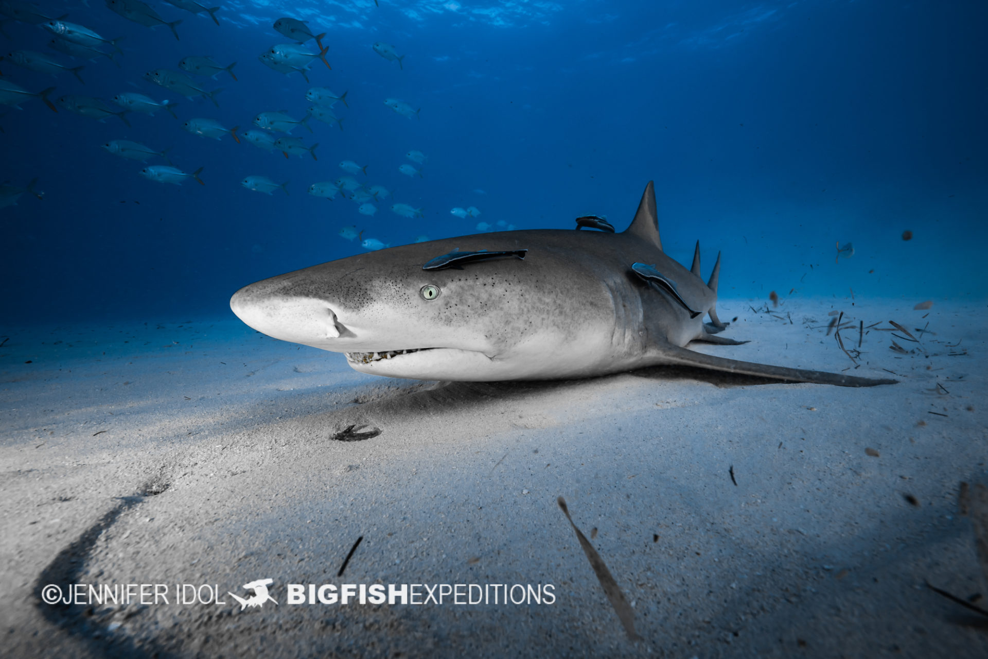 Lemon shark cleaning