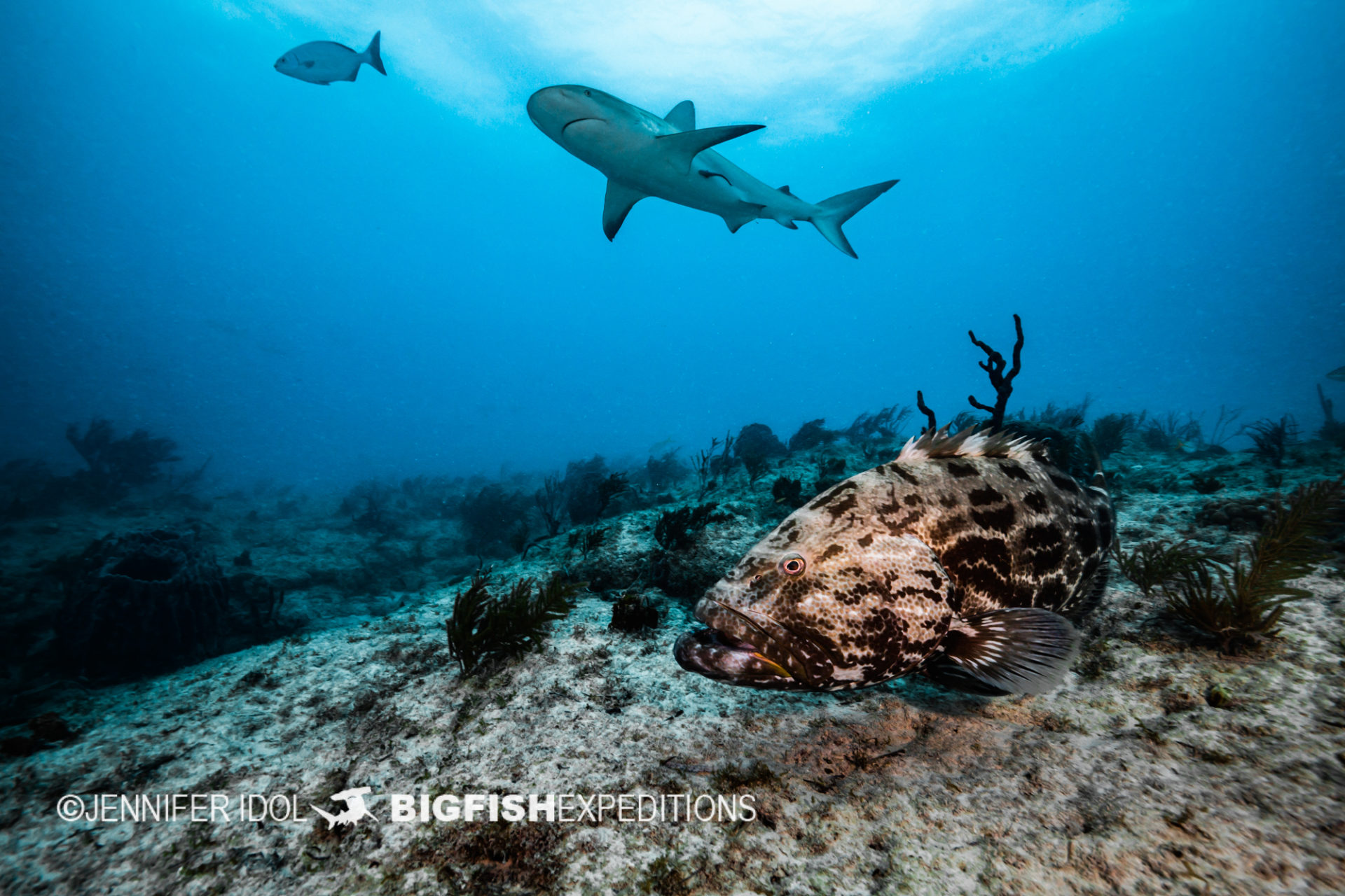 Reef sharks swim over reef