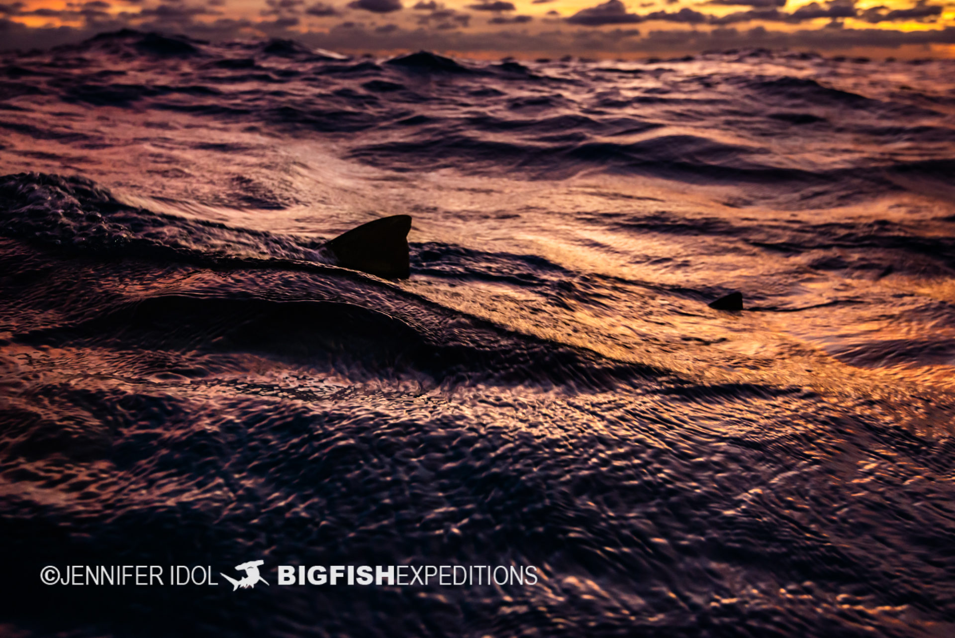 Lemon shark fins at sunset