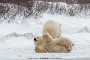 Polar bear cub playing in the snow.