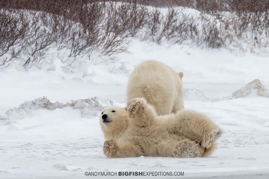 Polar bear cub playing in the snow.