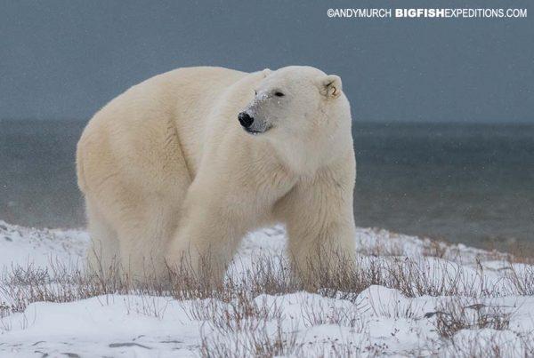 Polar Bear VIP Photography Tour