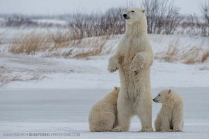 Polar Bear photography tour on the Canadian tundra in Churchill.