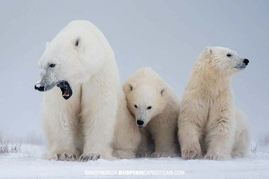 Momma polar bear with cubs in the Canadian Tundra.