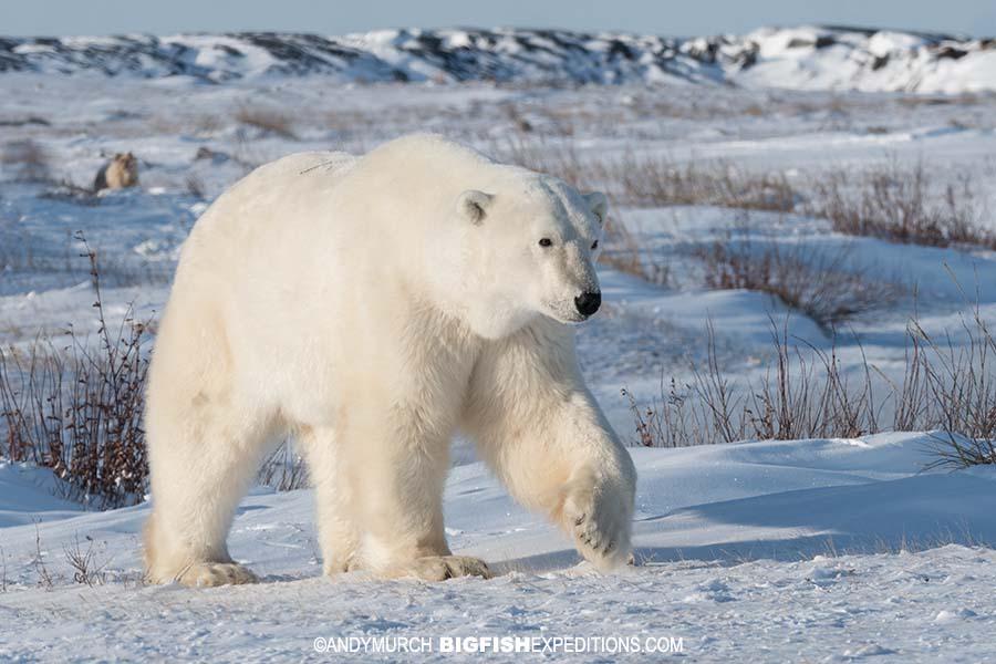 Polar bear heading onto the ice.