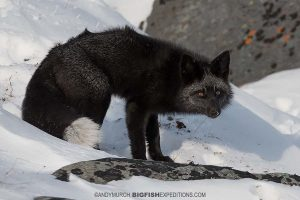 Silver fox in the tundra on our Polar Bear photography tour