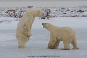 Sparring polar bears on the Canadian tundra in Churchill.