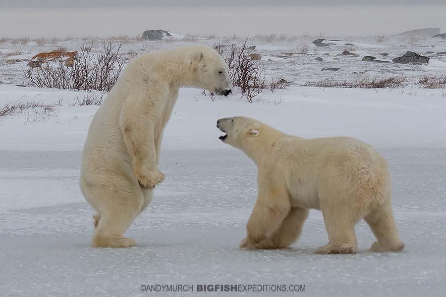 Sparring polar bears on the Canadian tundra in Churchill.