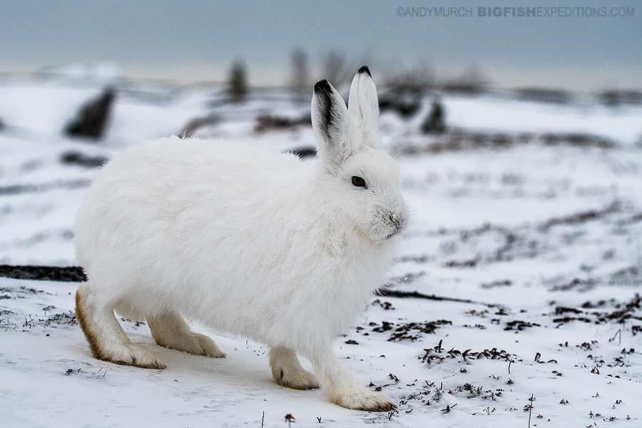 Arctic hare on the tundra on our Polar Bear photography tour