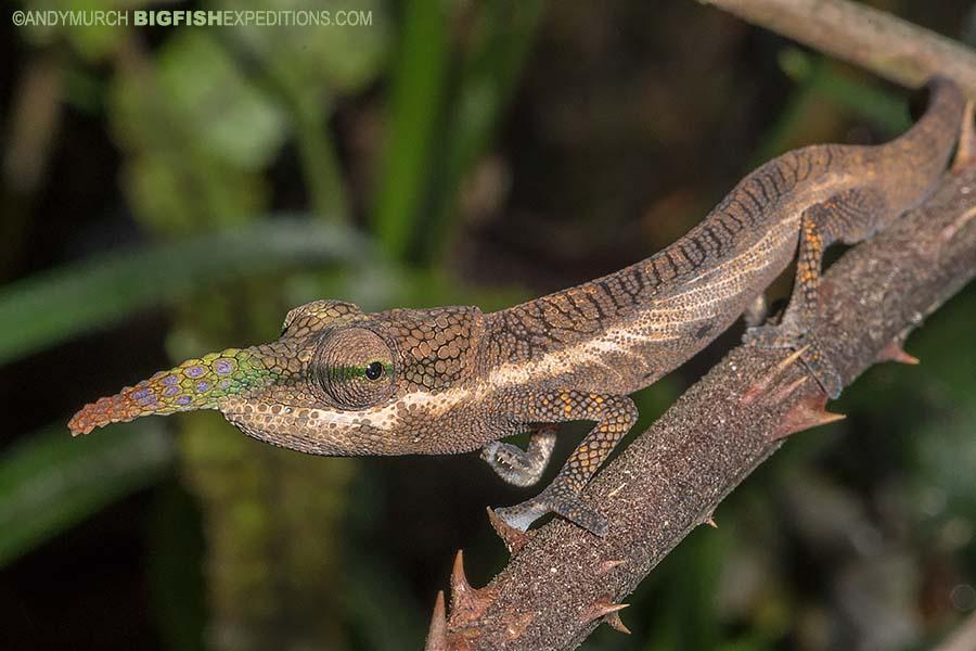 Lance-nosed Chameleon
