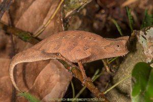 Brown Leaf Chameleon