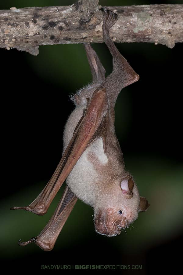Commerson's Roundleaf Bat