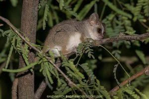 Grey-brown Mouse Lemur