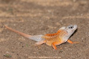 Madagascan Sand Lizard