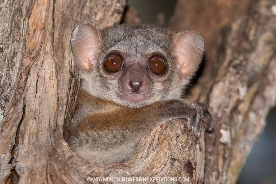 Milne Edwards Sportive Lemur