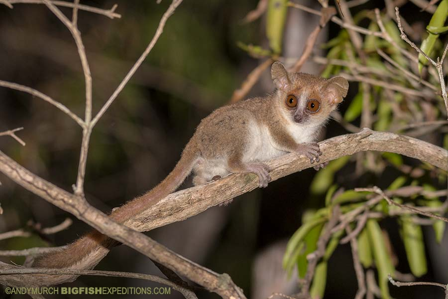 Gray Mouse Lemur Nocturnal Lemur Tour