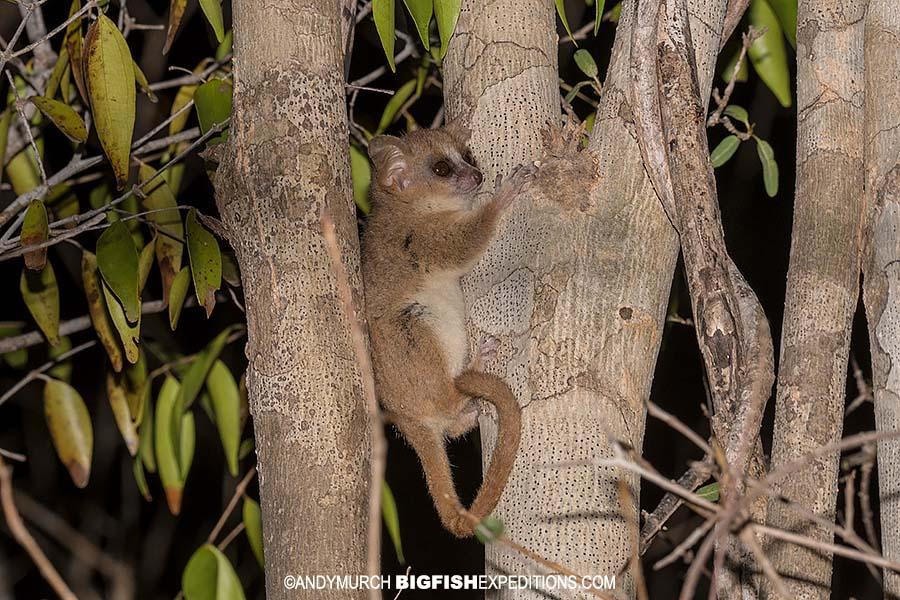 Madame Berte's Mouse Lemur