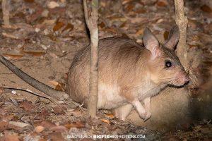 Madagascar Giant Jumping Rat