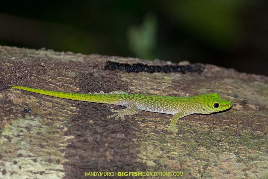 Malagasy Day Gecko
