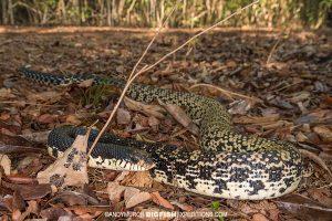 Malagasy Hognose Snake