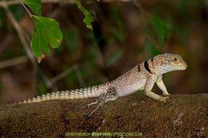 Malagasy Spiny-tailed Iguana