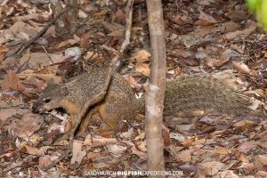 Narrow-lined Mongoose