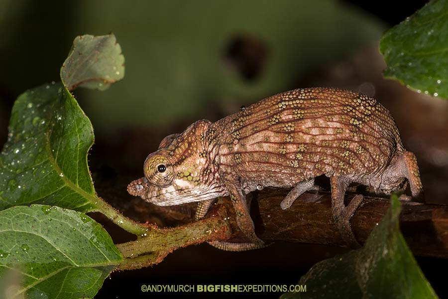 Nose-horned Chameleon