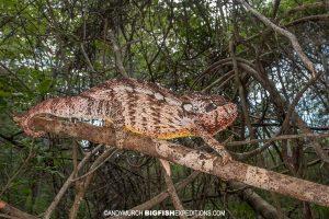 Oustalet's Chameleon