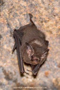 Pipistrelle sp.