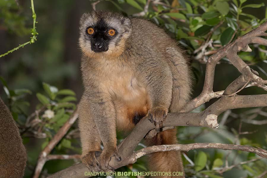 Rufus Grey Lemur - Eulemur rufus