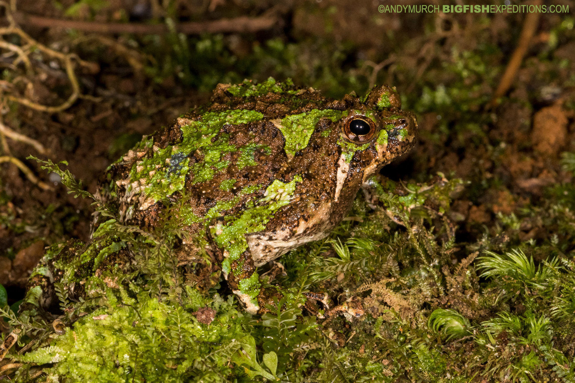 Spiny Narrow-mouthed Frog