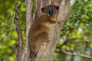 Zombitse Sportive Lemur