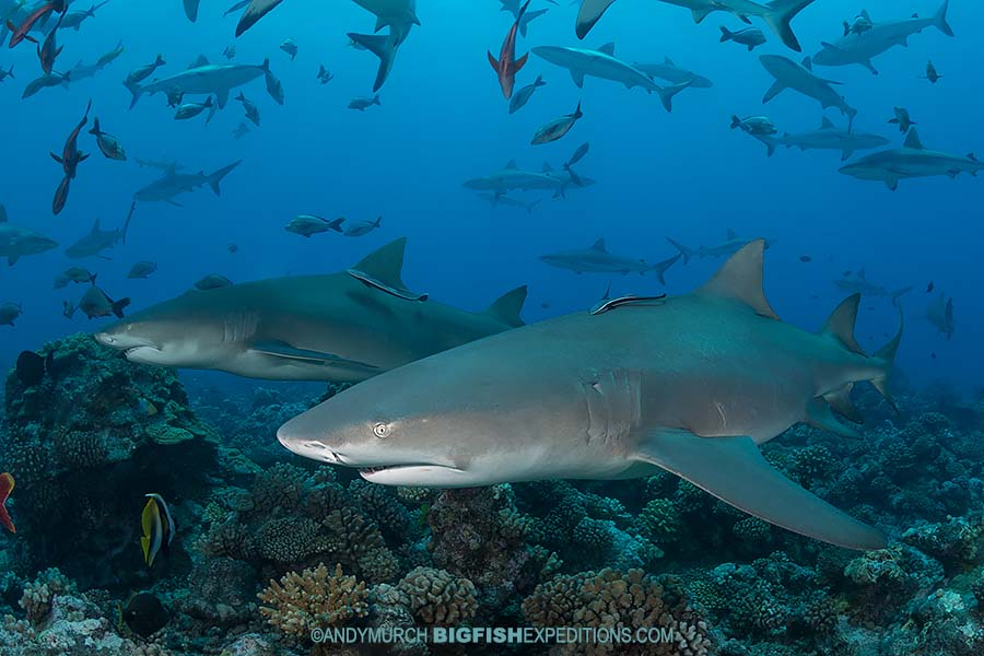 Sharptooth Lemon Sharks diving in French Polynesia