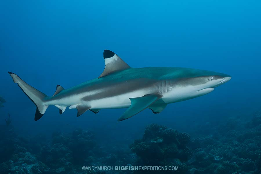 Diving with sharks in the Marquise Islands