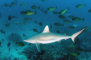 Grey Reef Shark diving