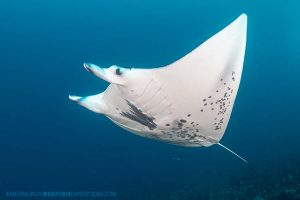 Manta Ray diving in French Polynesia