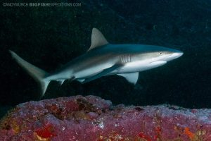 Diving the Shark Cave in Nuku Hiva