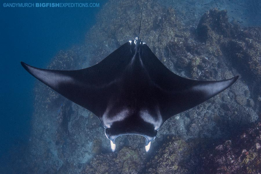 Manta diving in Nuku Hiva