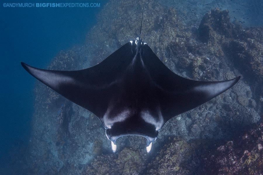 Manta diving in Nuku Hiva