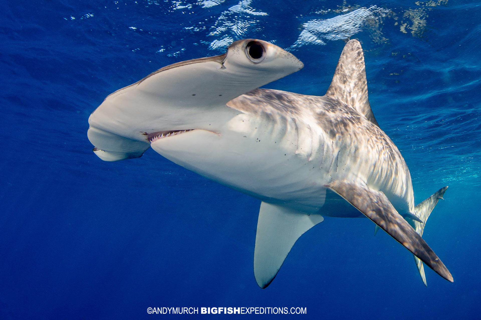 Snorkeling with Smooth Hammerhead Sharks in Mexico.