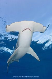 Smooth Hammerhead Diving